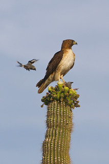 Red-tailed Hawk being attacked by Loggerhead Shrike | by Calidris!