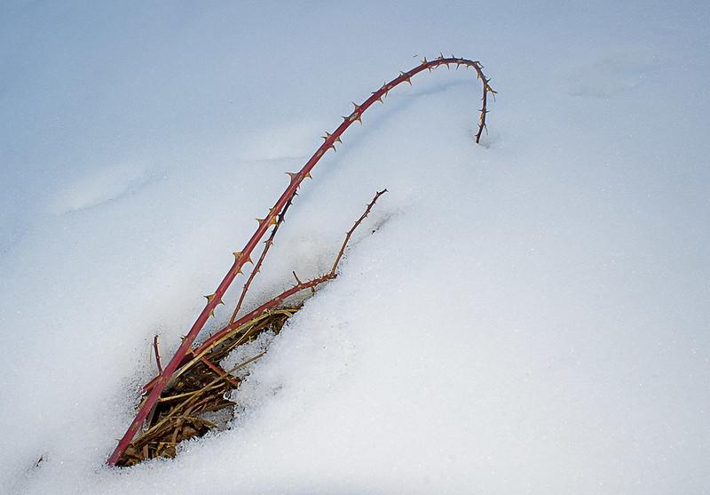 Zarzal en la nieve / Bramble in the snow