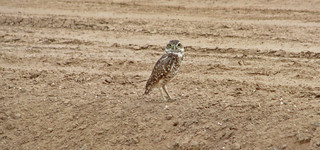 Burrowing Owl on the Ground. | by jpmckenna - Plotting 2020 Adventures