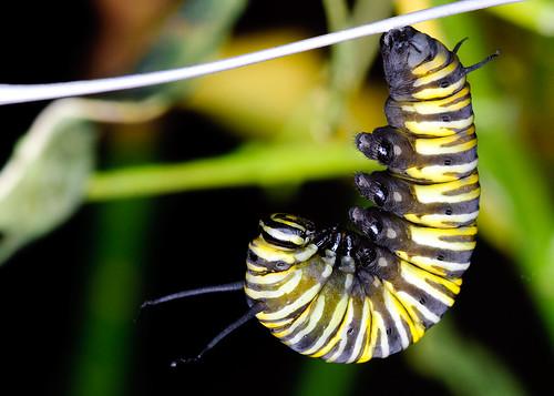 macro sc closeup butterfly insect photo nikon caterpillar charleston lightroom sigma105mm d80 brianmarchman