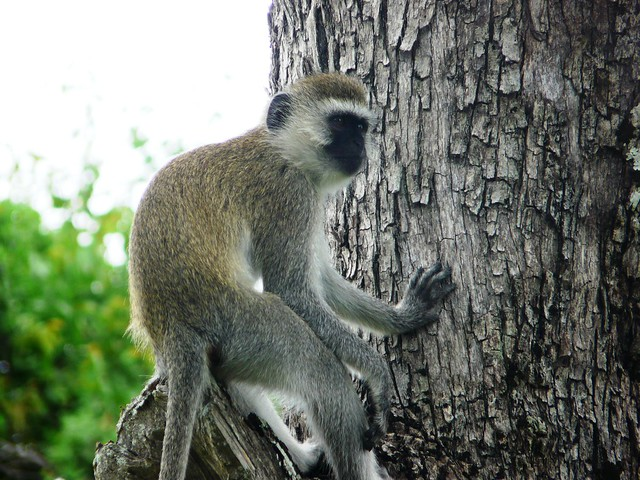 vervet monkey lounging