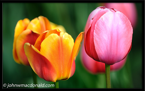 tulips   by johnwmacdonald