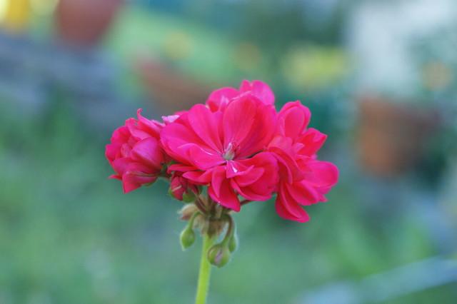 A Pretty Pink Geranium