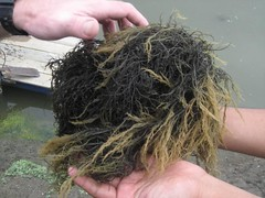 Pond seaweed | by East Asia & Pacific on the rise - Blog
