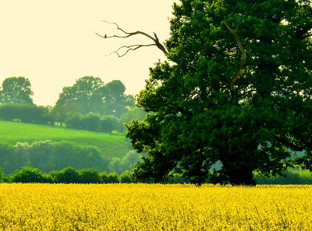#DailyShoot 2014 ~Rape Seed field #Herefordshire