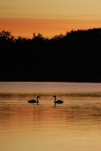 sunset lake swan d 60