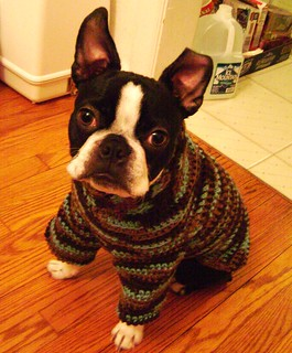 Iggy Pup in his new sweater | by DIY Sara