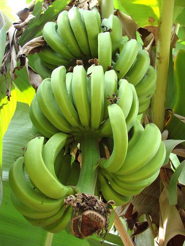 Bananes vertes (Cambodge) | by dalbera