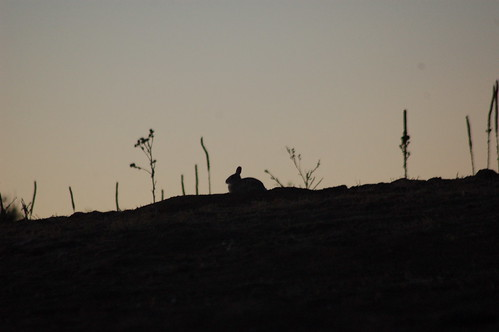 wild rabbit bunny silhouette sunrise mammal colorado denver ridge desertcottontail sylvilagusaudubonii greenwoodvillage i09 photocontesttnc09