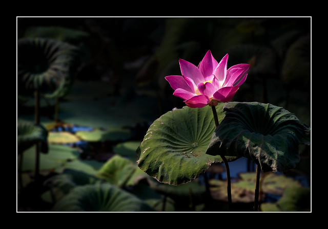 Lotus For Peace!