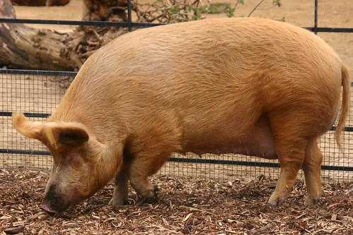 Queenie is ZSL's British Large White Pig (Sus scrofa domestica) | by schlechterwolf