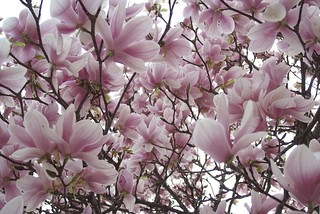 A ceiling made of magnolias | by lisabirtch