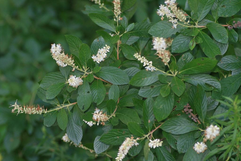 About >> Summersweet, Sweet Pepperbush (Clethra alnifolia) | Growing … | Flickr