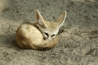 fennec fox | by reMuse