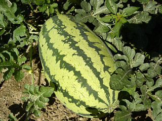 Big watermelon! | by trekkyandy