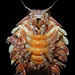Giant Isopods - Photo (c) NOAA Ocean Exploration & Research, some rights reserved (CC BY-SA)