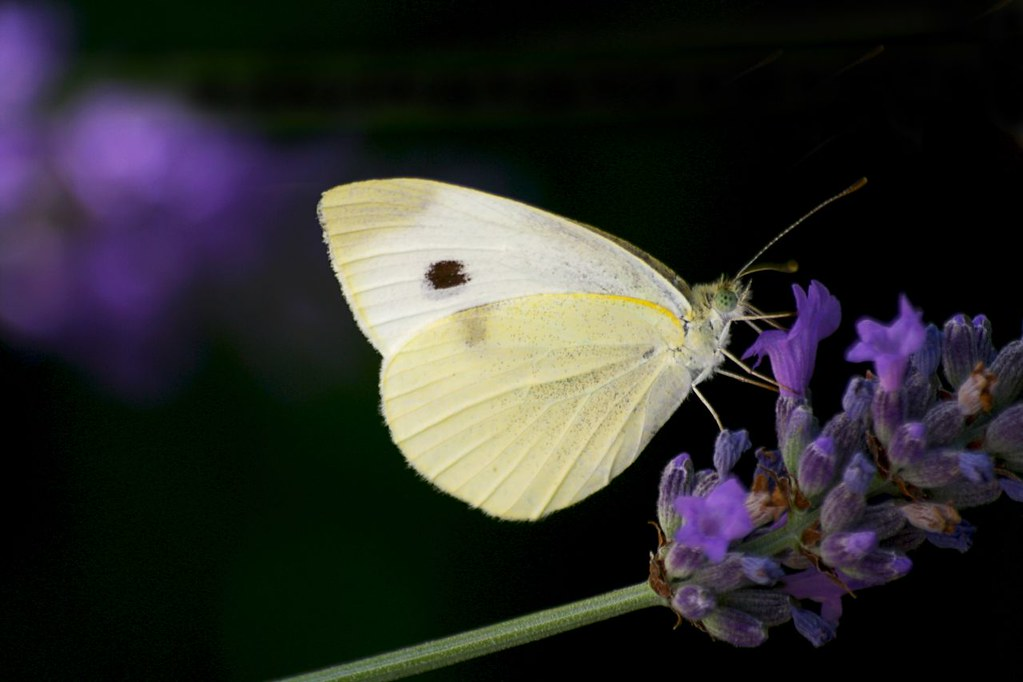 Butterfly on lavender by annfrau