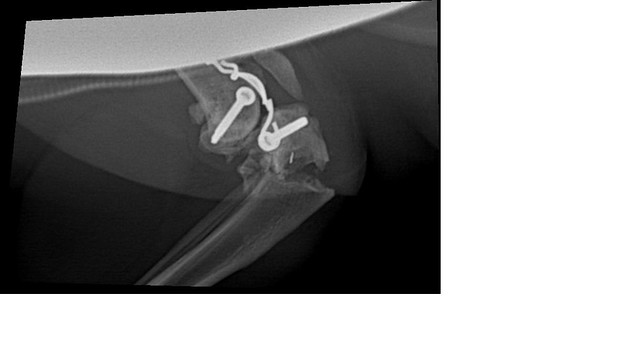 Our cat's hind leg fracture | Happened today  You can see th