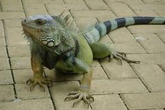 Iguana at Monteria park