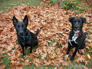 Dogs in leaves | by K·FREE