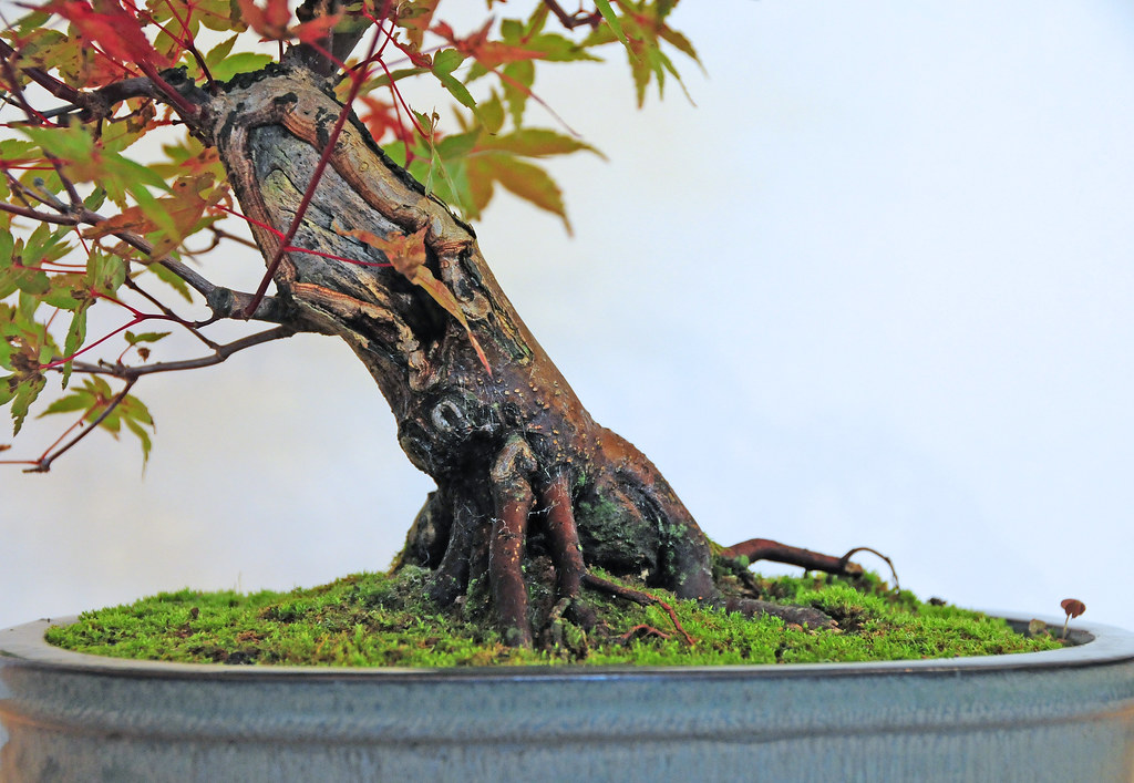 Acer Palmatum Deshojo Japanese Maple Bonsai Tree Trunk D Flickr