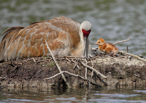 Sandhill Crane and new Baby Chick, hatched earlier this morning!!! | by Rick Leche