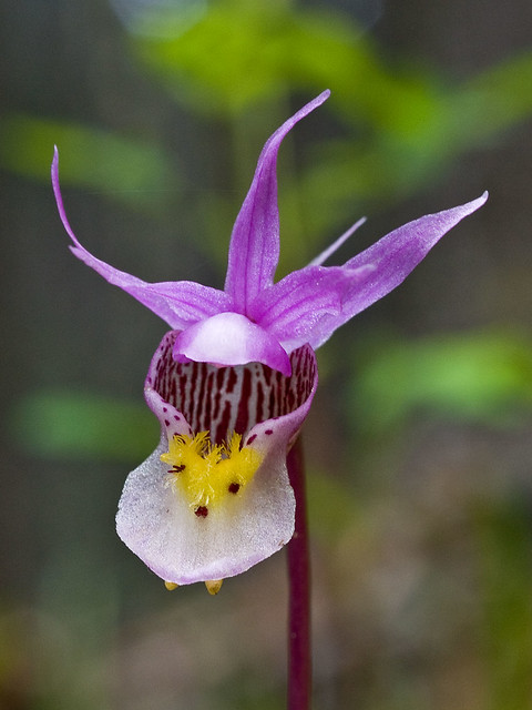 Calypso bulbosa var. americana 'Eastern-fairy Slipper'