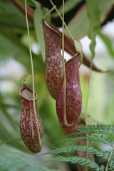 Nepenthes - Tropical Pitcher Plants