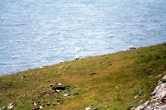 Sheep on Bray Head | by Lyons, Tigers, and Bears...Oh My!