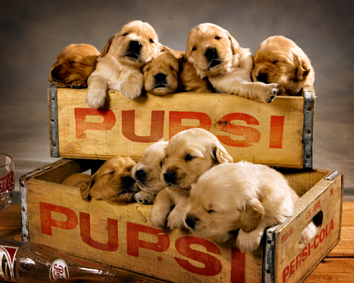 Pupsi Cola | I photographed a new litter of Golden Puppies  … | Flickr