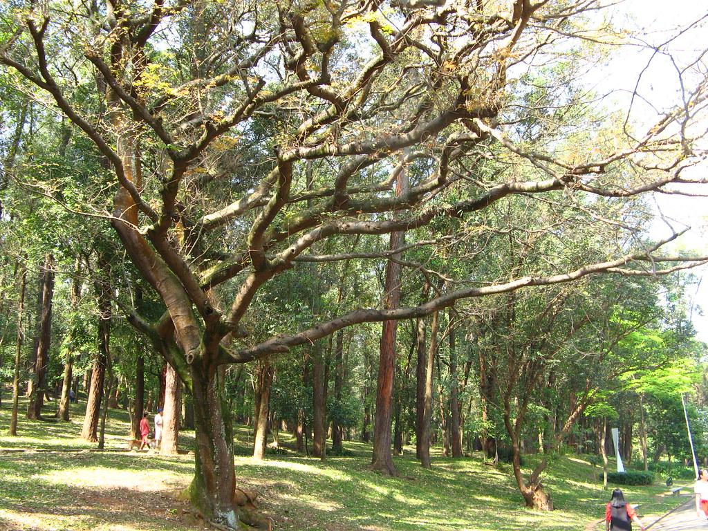 Copaiba (Copaifera langsdorfii) árvore petroleo (the most medicinal Amazonic tree)