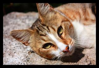 Gatto di Montemarcello