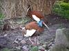 Mähnenibis / Schopfibis / Madagascar Crested Ibis (Lophotibis cristata) by Sexecutioner