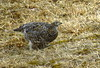 Ptarmigan Female by Silhouette2