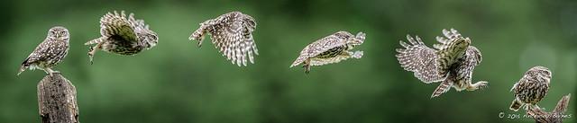 Perch to perch: Little owl (Athene noctua)
