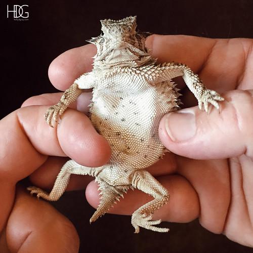 JUNEhornedfrog6   by HDGray