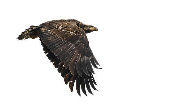 Cold weather, grey skies, and immature eagle with a mission...no blue background today~~~