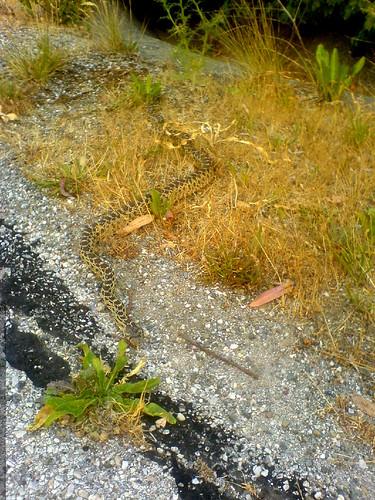 snake on the run - DSC01168 | by sean dreilinger