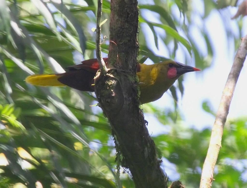 IMG_7809_Amazonian(olive) oropendola