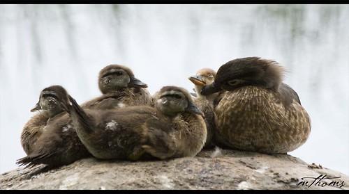 water rock duckling ducks woodduck merganser rideauriver canon30d platinumphoto riverainpark kadacat