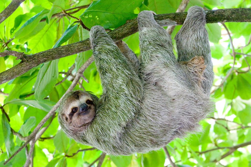 sloth | henryalien | Flickr