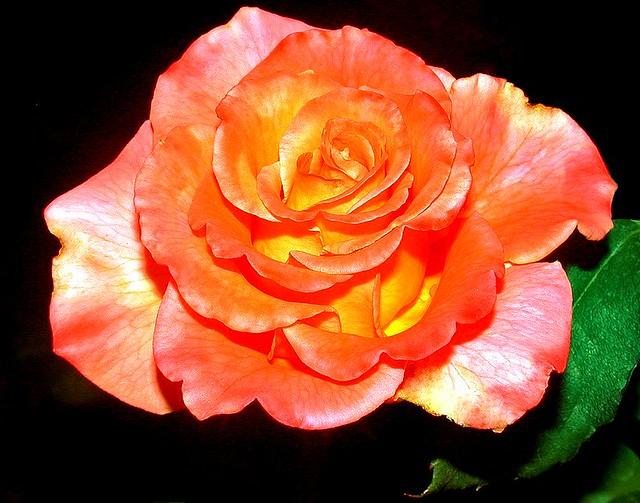 Rose - C95-6-23-08_12851