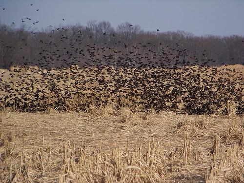 field birds illinois corn midwest wildlife blackbirds ofallon kodakz812is