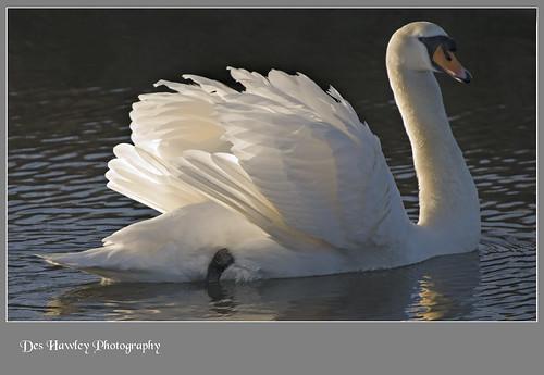 swan deshawley