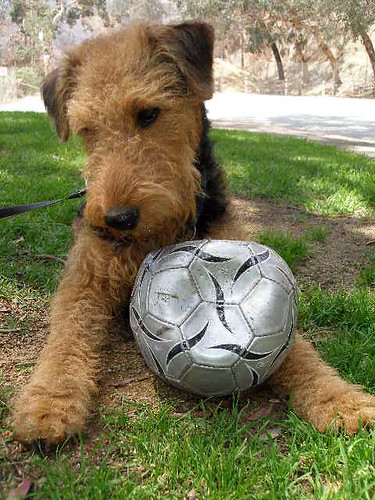 Deflated Soccer Ball Equals Happy Airedale | by Lulu Höller