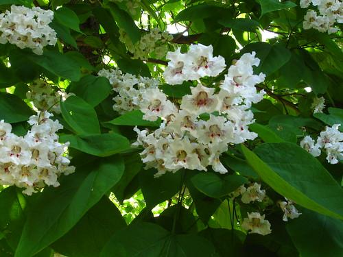 Catalpa blossoms | by adamsfelt