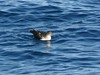 Black-vented Shearwater by Langooney