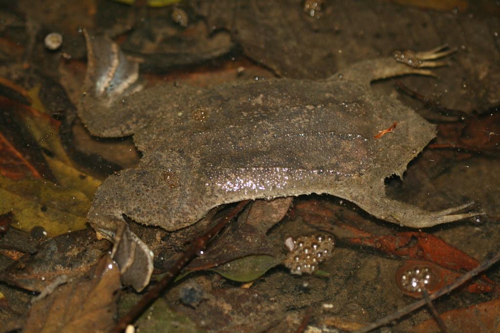 Pipa pipa (Surinam Toad)
