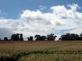 Dorset cornfield | by thomas.hallett