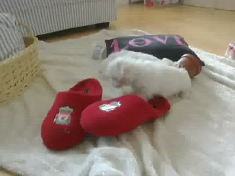 See videos of the cute Maltese Puppies on